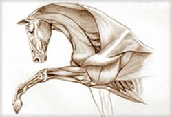 PaardSpierenFront
