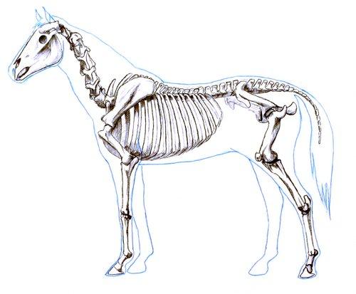 horse-skeleton
