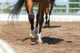 Close-up-of-the-horse-hooves-in-motion.-Dressage-competition.Horse-thin-lower-leg-Osetriks.jpg.jpg